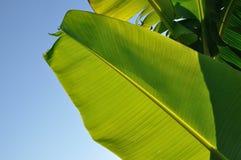 Banana leaf. Sunlit banana leaf close up stock photo
