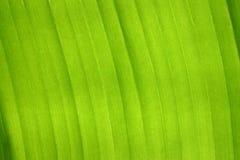 Banana leaf. A closeup shot of a banana leaf stock image