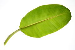 Banana leaf. Isolated on white stock photos