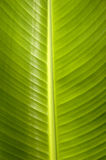 Banana leaf Royalty Free Stock Photo