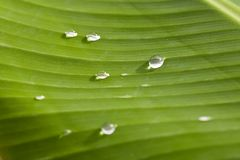 Banana leaf Stock Images
