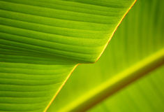 Banana Leaf. Nature pattern and details of banana leaf Stock Photography