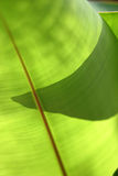 Banana leaf. Close up of back-lit banana leaf with partial shadow of leaf behind it Royalty Free Stock Photography