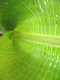 Banana leaf. One banana green leaf with water drops royalty free stock image