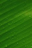 Banana leaf. Fresh banana leaf with water drops on it Stock Photo