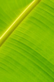Banana Leaf-15 Fotografia Stock