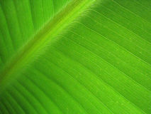 Banana leaf 7. Macro of a beautiful banana leaf Stock Photos