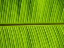 Banana Leaf. Close up of Banana leaf pattern Royalty Free Stock Images