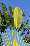 Banana leaf Royalty Free Stock Photos