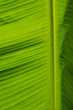 Banana leaf background Royalty Free Stock Photo