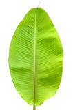Banana leaf background. Close up of green banana leaf Royalty Free Stock Photos