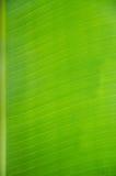 Banana leaf. Of background Royalty Free Stock Photo