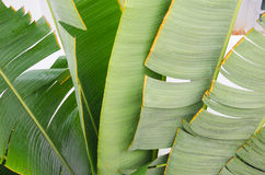 Banana leaf. For background Stock Photography