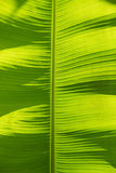 Banana leaf background back lighted. Bright banana leaf background back lighted by sunshine Royalty Free Stock Photography