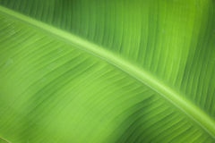 Banana leaf background. Banana leaf for design texture, abstract, background Stock Photos