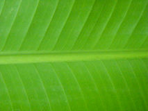 Banana leaf. Royalty Free Stock Photography