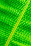 Banana Leaf Background In Nature Stock Images