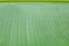 Banana leaf background Royalty Free Stock Image