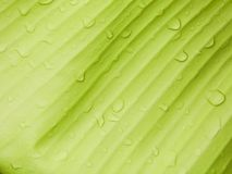 Banana leaf background with raindrop Stock Photography