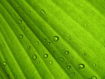Banana leaf background with raindrop Stock Images