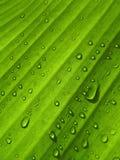 Banana leaf background with raindrop. Under of banana leaf background with raindrop Stock Photo