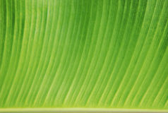 Banana leaf background texture Royalty Free Stock Photo