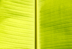 Banana leaf. Background texture of banana leaf royalty free stock image