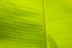 Banana Leaf Background Texture Stock Photography