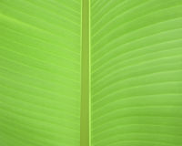 Banana leaf for background Royalty Free Stock Photos