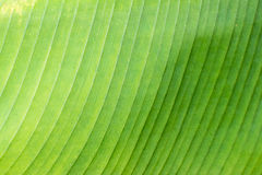 Banana leaf. Background and texture Royalty Free Stock Photos