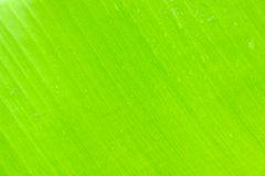 Banana leaf background Royalty Free Stock Images
