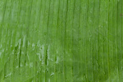 Banana leaf backgrounds Royalty Free Stock Image