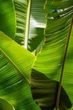 Banana leaf backlit sun - background Stock Photos