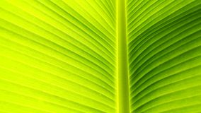 Banana leaf. Bai dtong is Thai name of banana leaf Royalty Free Stock Photos