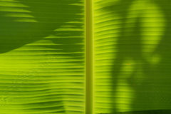 ฺBanana leaf. Banana leaves have a wide range of applications because they are large, flexible, waterproof and decorative. They are used for cooking, wrapping Royalty Free Stock Images