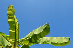 Banana leaf. On blue sky royalty free stock photo