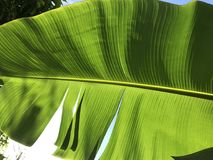 Banana leaf. Close up banana leaf royalty free stock photo