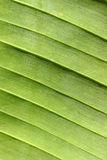 Banana leaf close-up Royalty Free Stock Photos