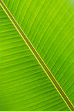 Banana leaf close up. Banana leaf background Stock Photography