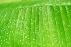 Banana leaf. Close up fresh banana leaf and water drop Stock Images