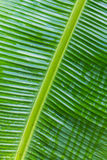 Banana leaf close-up Stock Images
