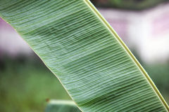 Banana leaf close up. While raining stock photo