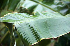 Banana leaf close up. While raining royalty free stock photography
