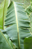 Banana leaf close up. While raining stock image