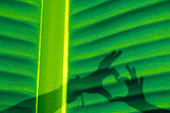 Banana leaf, close up with shadow of human hand in shape of hear Stock Image