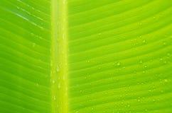 Banana leaf Stock Photos