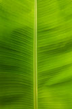 Banana Leaf. Close wallpaper picture royalty free stock images