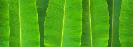 Banana leaf. Closed up of Banana leaf background Royalty Free Stock Photos