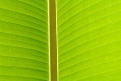 Banana leaf closeup Royalty Free Stock Photography