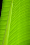 Banana Leaf Closeup. A banana leaf closeup, tangent view stock photos